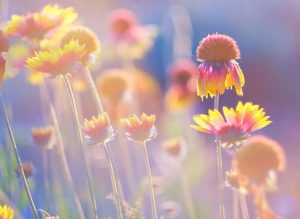 Beautiful american cone flowers in close up, photographet at sunset