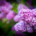 Beautiful blooming lilac flowers. Violet springtime flowers.