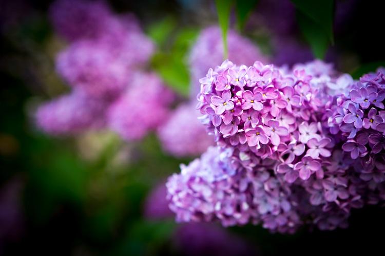 Beautiful blooming lilac flowers. Violet springtime flowers.