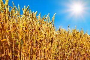 Wheat field against blue sky with sun