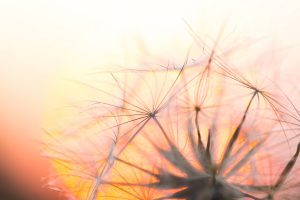 Dry dandelion seeds on sunset sky background