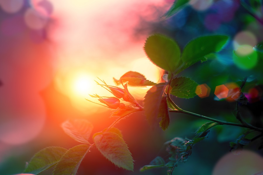 Evening summer landscape, rosebuds at sunset. Selective focus