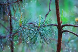 Beautiful foggy forest with magic light in the early morning. Wet pine branch