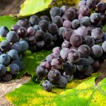 Black grapes on the wooden table