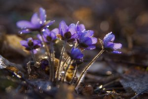 liverworts, beautiful springtime flowers growing in the forest