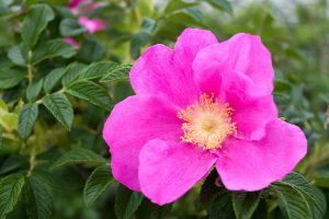 Rugosa roses are native to New England in addition to China and Japan.