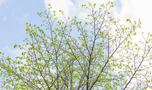 New leaves on tree branches on blue sky with clouds. Nature background.