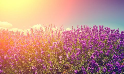 Vintage colored lavender field