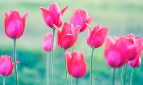 Beautiful spring tulips flowers growing in garden
