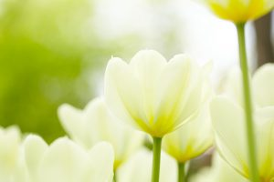 White tulips background, shallow depth of field