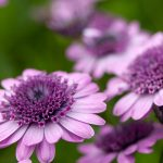 Close up macro of a purple flower.  Shallow depth of field.