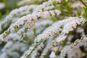 White spirea blooming in beautiful hedge. Close up of springtime white flowers