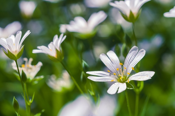 Beautiful close up of blooming chickweed flowers, springtime flowers
