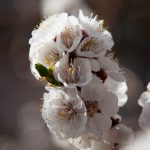 Apricot Tree Flowers Closeup Shot