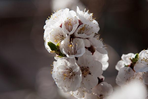 Apricot Tree Flowers Closeup Shot