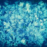 Vintage grunge background from cornflower flowers