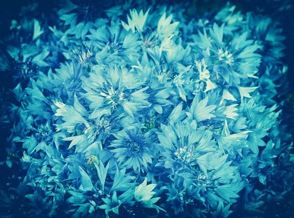 Vintage grunge background from cornflower flowers