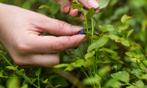 Blueberry bushes in the forest and woman hands picking blueberries. Close up of forest fruits